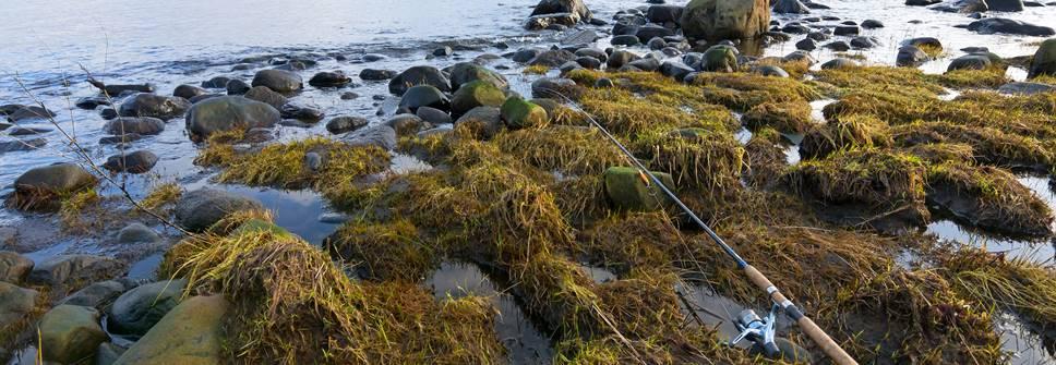 Spinnrtute im Tang in der Ostsee