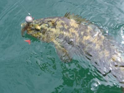 Lippfisch kurz von der Landung gefangen auf Gummifisch in Norwegen