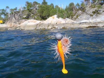 Gummifisch mit Seeigel - Angeln in Norwegen