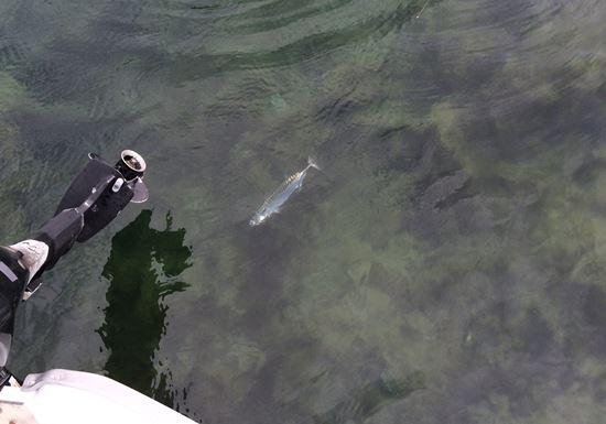 Makrele Norwegen beim Uferangeln gefangen