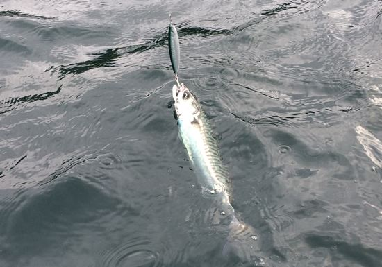 Makrele Norwegen - auf silbernen Pilker gefangen